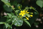 Italian Jasmine, Yellow Jasmine (Jasminum humile) photo