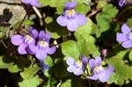 Ivy-Leaved Toadflax (Cymbalaria muralis) photo