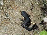 Japanese Firebelly Newt (Cynops pyrrhogaster) photo