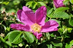 Japanese Rose (Rosa rugosa) photo