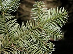 Abies magnifica photo