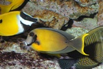 Acanthurus pyroferus photo