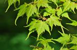 Acer micranthum photo