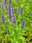 Agastache rugosa photo