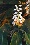 Alpinia zerumbet photo