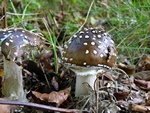 Amanita pantherina photo