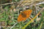 Argynnis niobe photo
