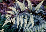 Athyrium goeringianum photo