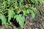 Atriplex calotheca photo