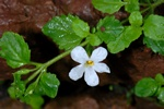 Bacopa monniera photo