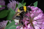 Bombus hortorum photo
