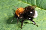 Bombus hypnorum photo