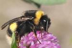 Bombus magnus photo