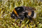 Bombus terrestris photo