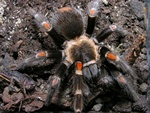 Brachypelma auratum photo