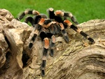 Brachypelma smithi photo