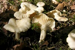 Cantharellus pallens photo
