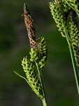 Carex cespitosa photo