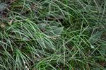 Carex pediformis ssp. rhizodes photo