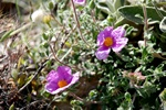 Cistus creticus photo