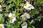 Cistus laurifolius photo