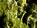 Cladonia fimbriata photo