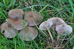 Clitocybe amarescens photo