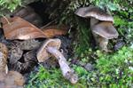 Cortinarius atrocoeruleus photo