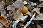 Cortinarius casimiri photo