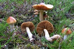 Cortinarius collinitus photo