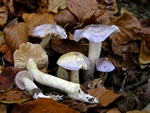Cortinarius croceocoeruleus photo