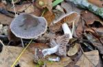 Cortinarius diasemospermus photo