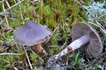 Cortinarius erubescens photo
