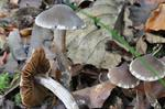 Cortinarius flexipes photo