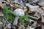 Cortinarius lebretonii photo