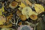 Cortinarius obtusus photo