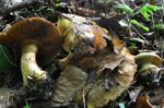 Cortinarius olearioides photo
