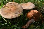 Cortinarius porphyropus photo