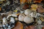 Cortinarius testaceomicaceus photo