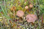 Cortinarius tubarius photo