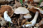 Cortinarius turgidus photo
