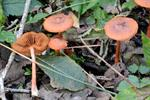 Cortinarius uliginosus photo