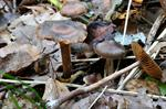 Cortinarius umbrinolens photo