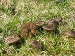 Cortinarius vernus photo