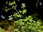 Corydalis claviculata photo