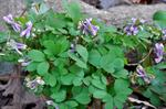Corydalis pumila photo