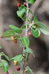 Cotoneaster canescens photo