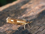 Crambus heringiellus photo