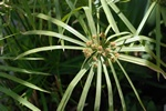 Cyperus involucratus photo