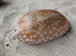 Cypraea cervinetta photo